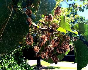 Cedar Rust