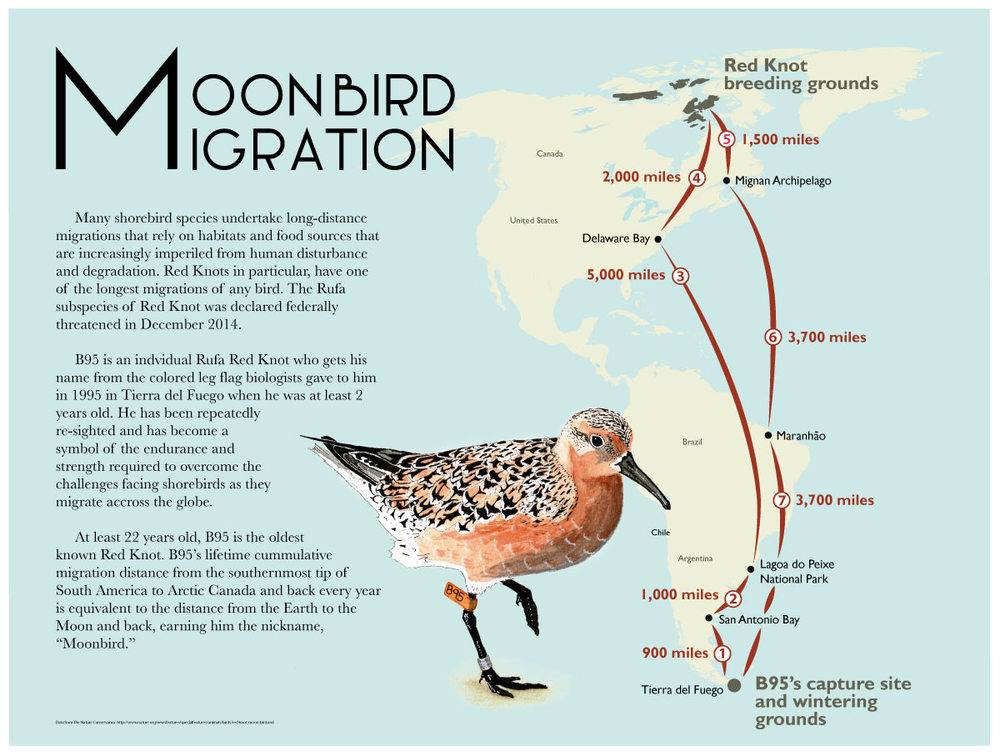 Map depicting Red Knot ( Calidris canutus rufa ) migration created with Adobe Illustrator  and watercolor for an assignment during CSUMB Science Illustration program.