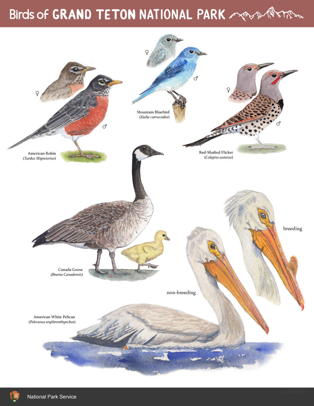 Field guide page created with watercolor, gouache, and InDesign as an assignment for CSUMB Science Illustration program.