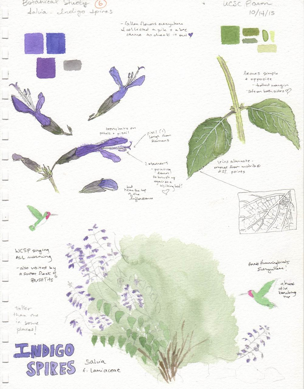 Salvia Field Sketch