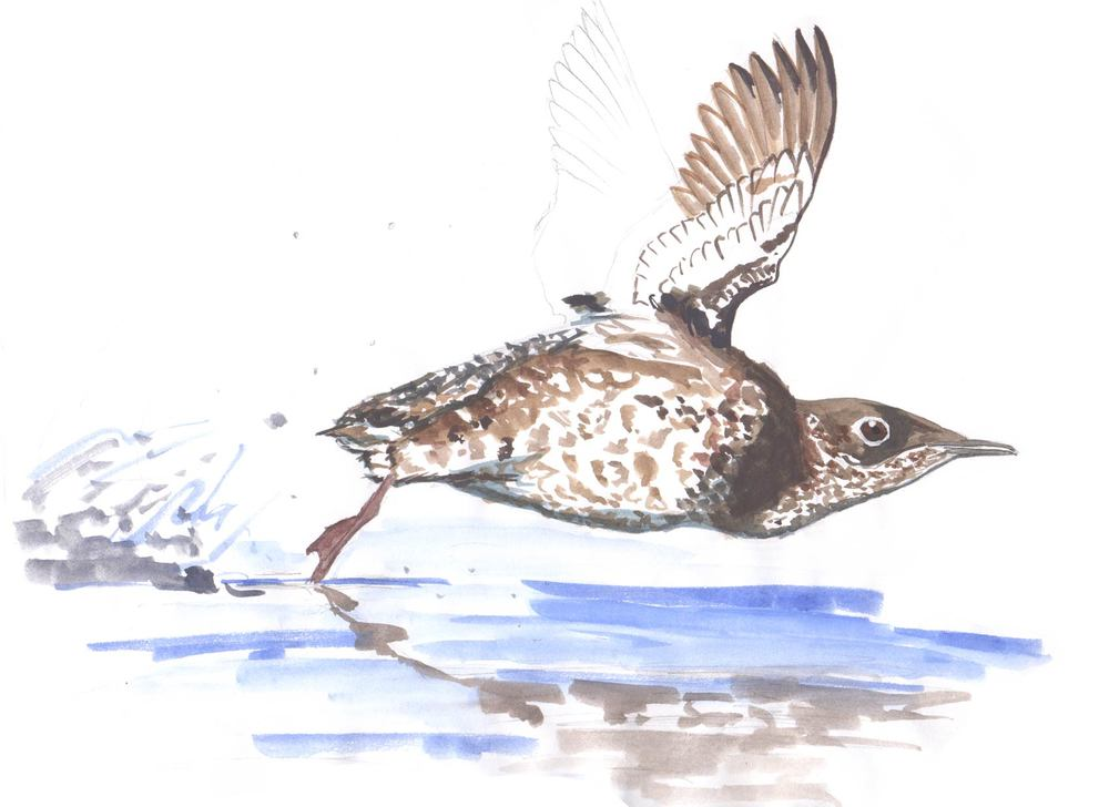 Marbled Murrelet Concept Sketch