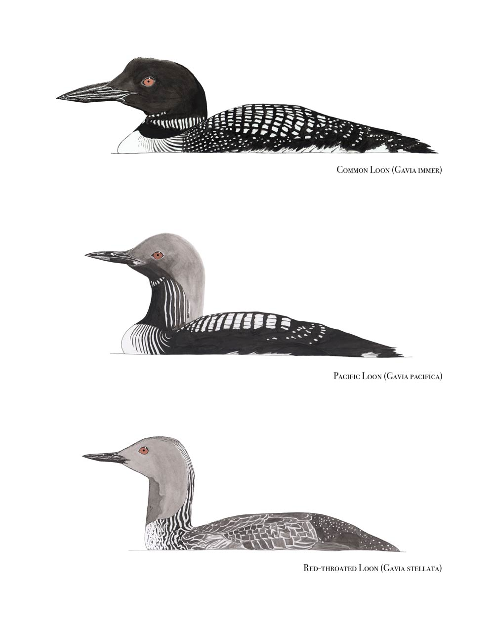 Loons of Monterey Bay