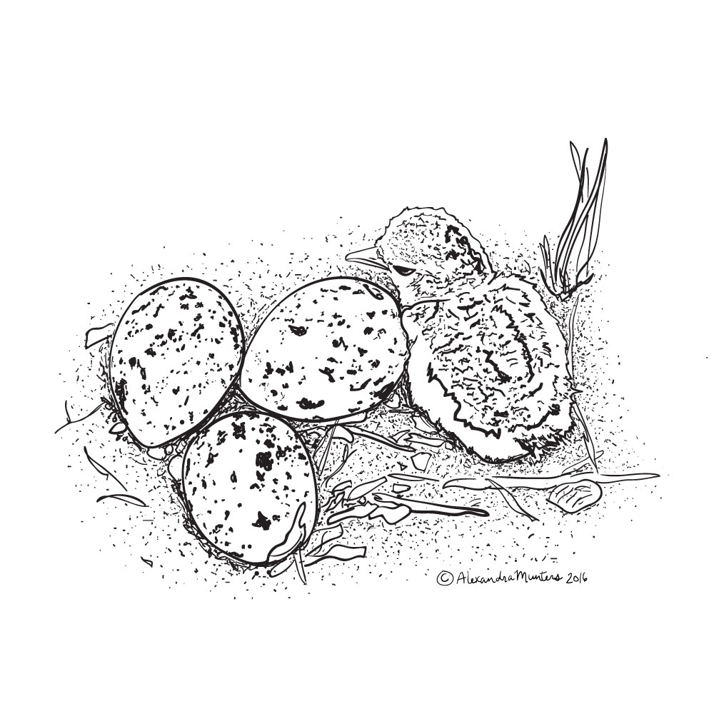 American Oystercatcher nest hatching