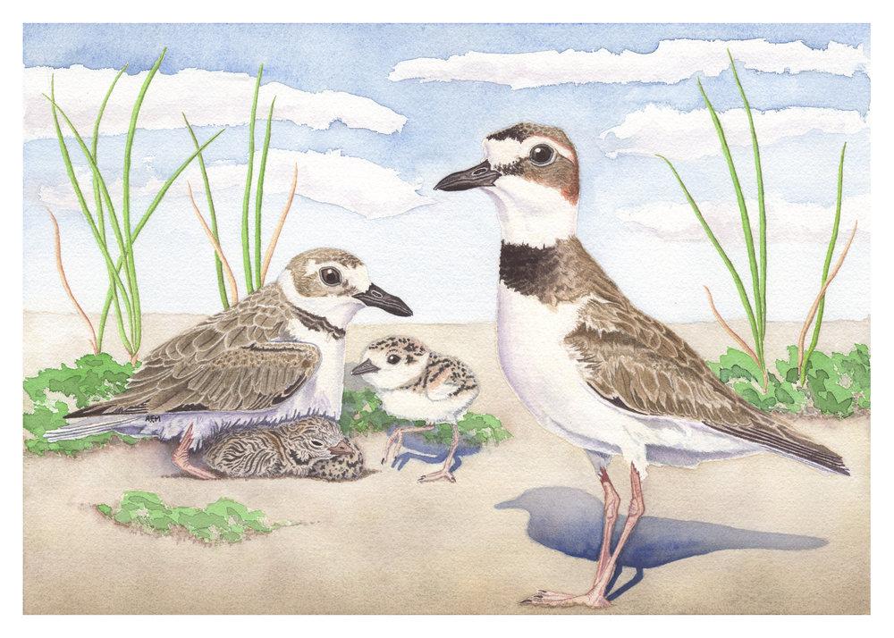 Wilson's Plover Nesting Pair