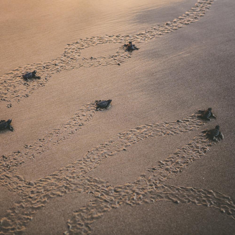 Turtle Release Mukul