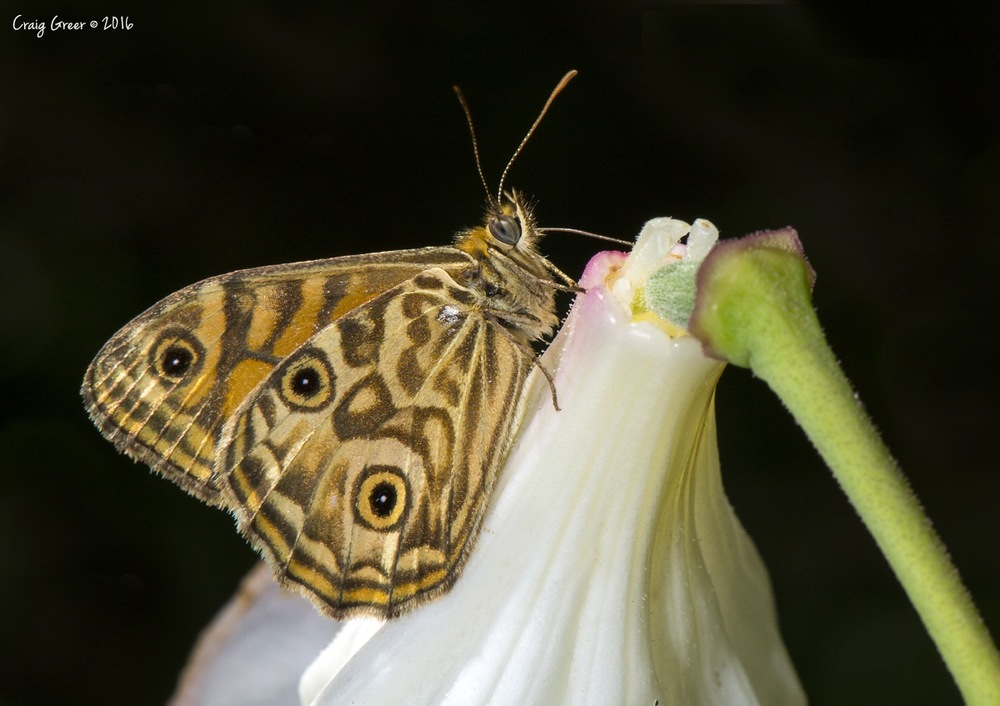 Ringed-Xenica-Mt-Lofty-Botanic-Gardens-24-01-16.jpg