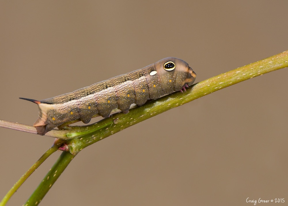 Vine-Hawkmoth-Caterpillar-1200px-Birkenhead-07-02-16.jpg