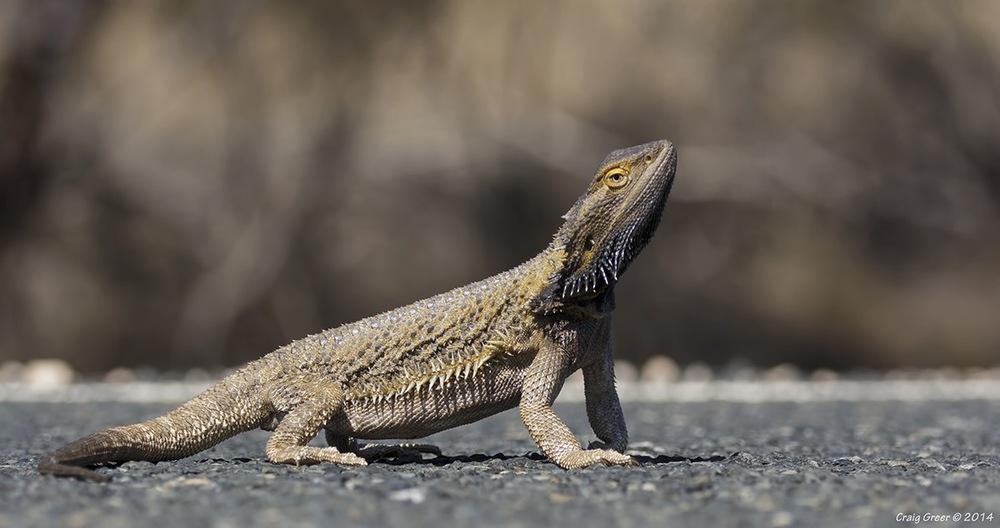Bearded-Dragon-Blanchetown.jpg