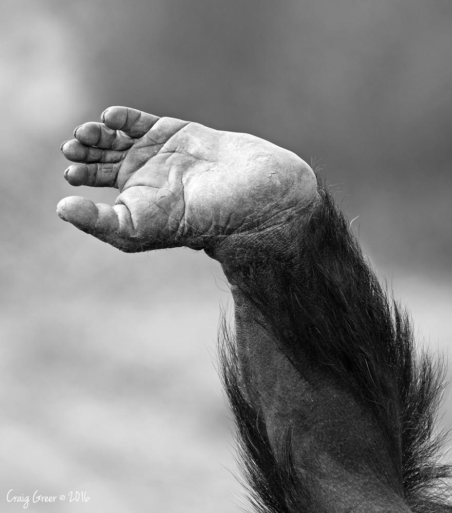 Chimpanzee-foot-1000px-Monarto-Zoo-19-03-16.jpg