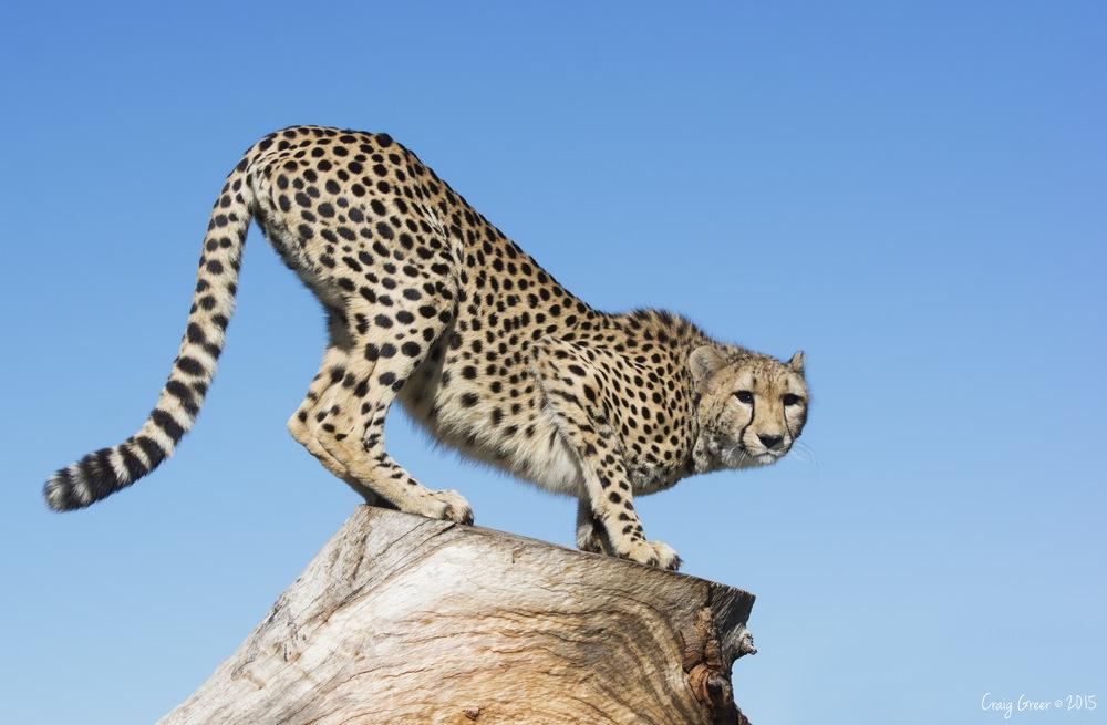 Cheetah-Monarto-Zoo-17-05-15-large.jpg