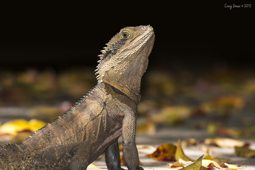 Eastern-Water-Dragon-Warriewood-Wetlands-09-10-15.jpg