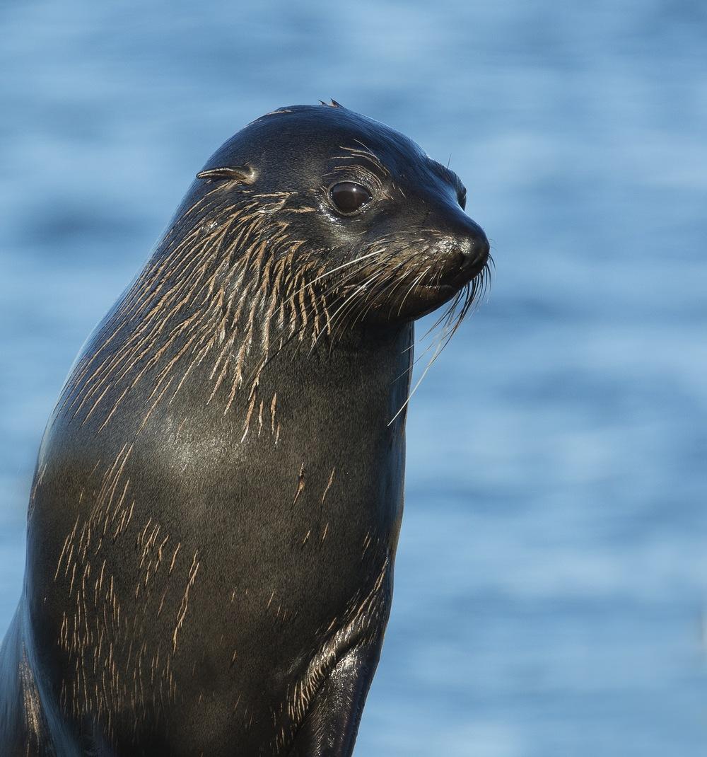 Fur-Seal-pup.jpg