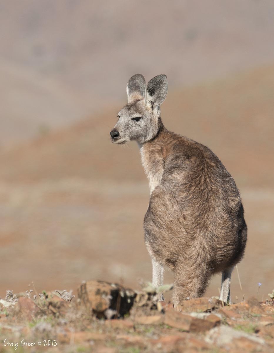 Kangaroo-Wilpena-Pound-15-01-15.jpg