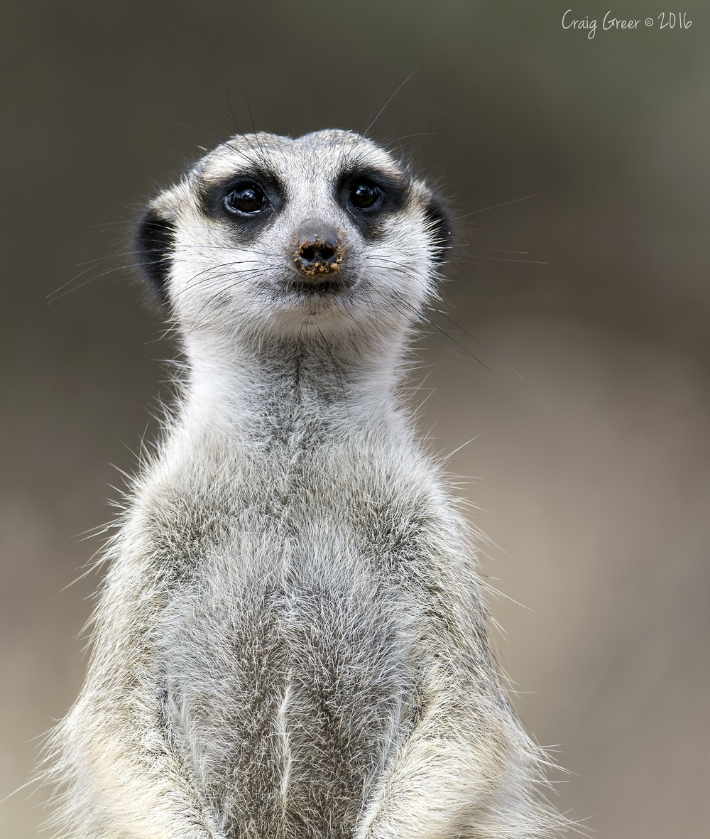 Meerkat-Monarto-Zoo-19-03-16.jpg