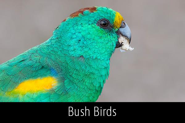 Bush-Birds-Album-Thumb.jpg