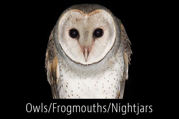 Owls-Frogmouths-Nightjars-Album-Thumb.jpg