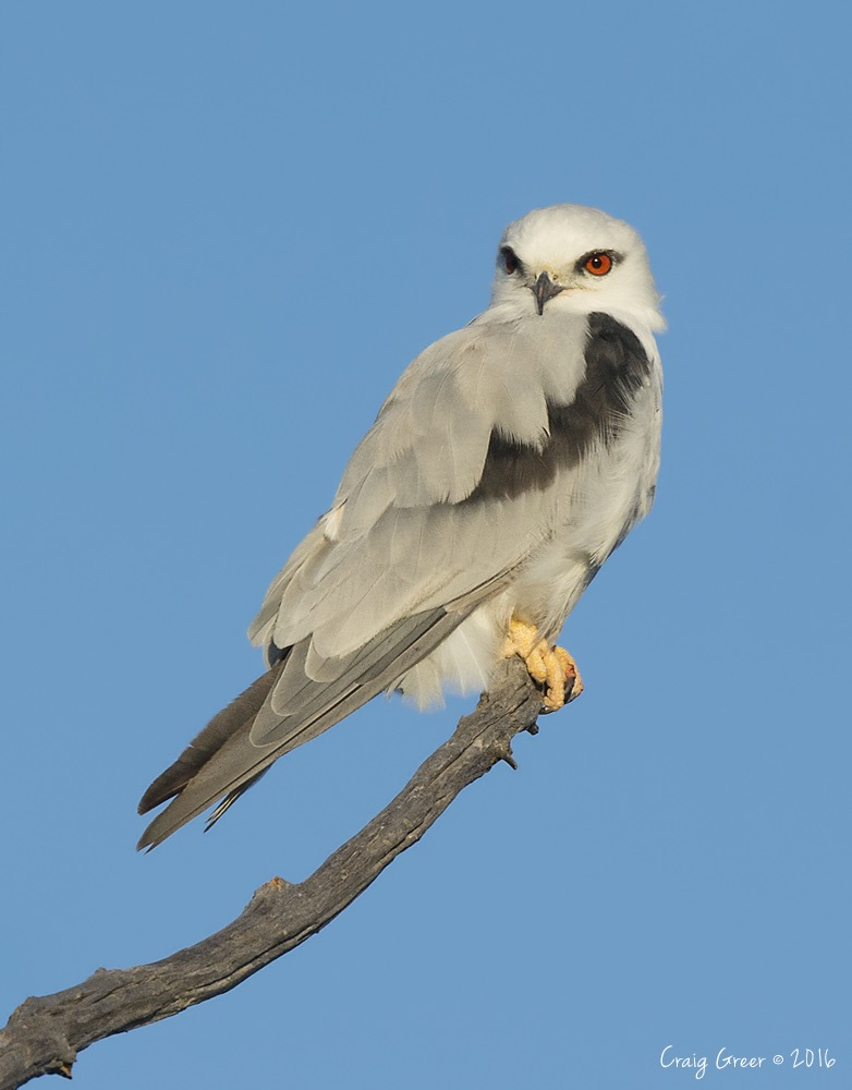 Black-shouldered Kite | Mt Compass