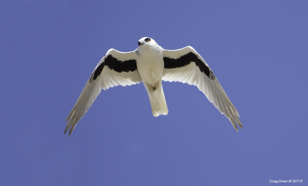 Letter-winged Kite | Port Wakefield