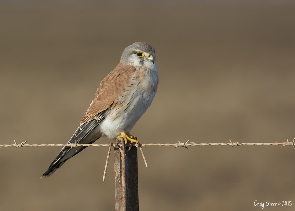 Nankeen Kestrel | Reeves Plains
