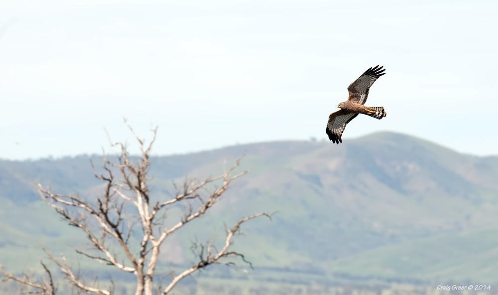 Spotted Harrier | Stirling North