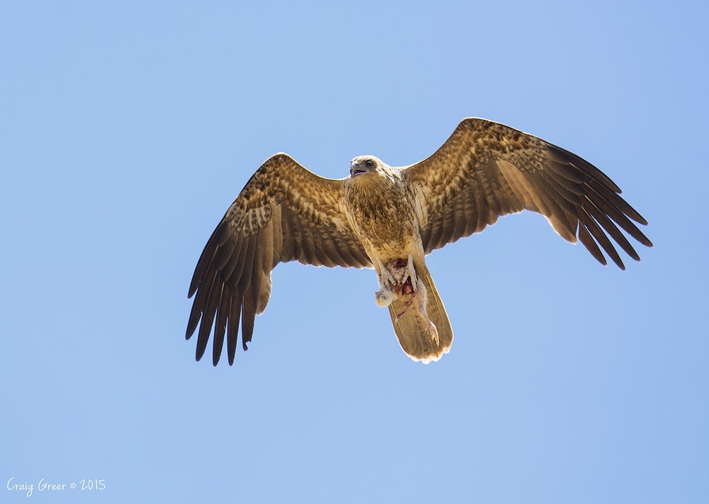 Whistling Kite | Port Wakefield