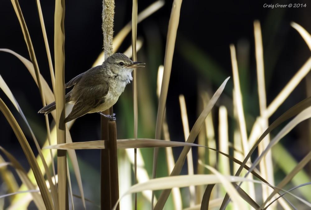 Australian Reed-warbler | White's Rd Wetlands