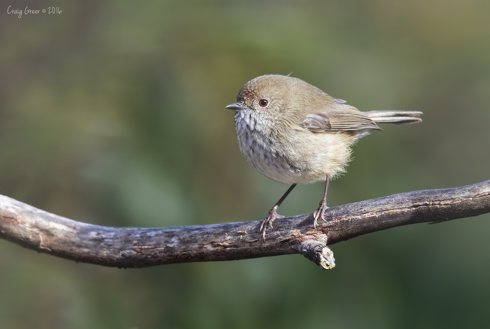 Brown Thornbill | Scott Creek CP