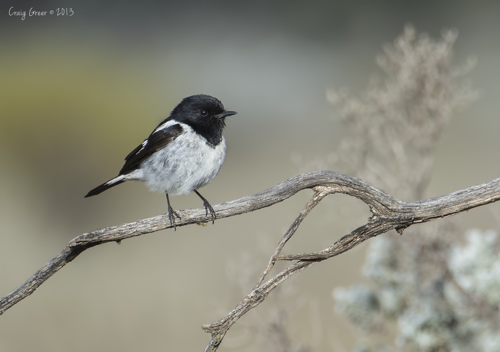 Hooded Robin | Brookfield CP