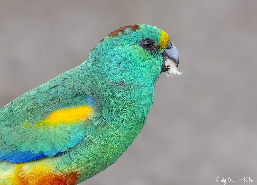 Mulga Parrot   Brookfield CP