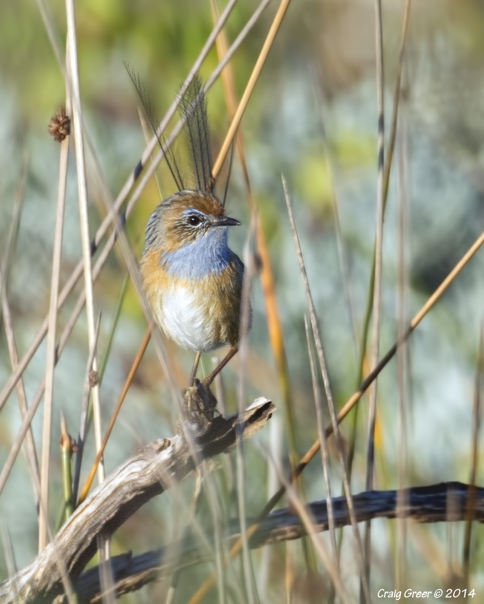 Southern Emu-wren | Policeman Point