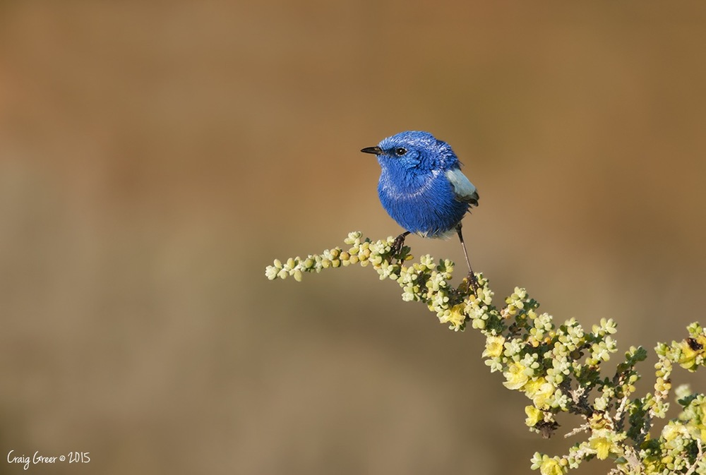 White-winged Fairy-Wren | Burra