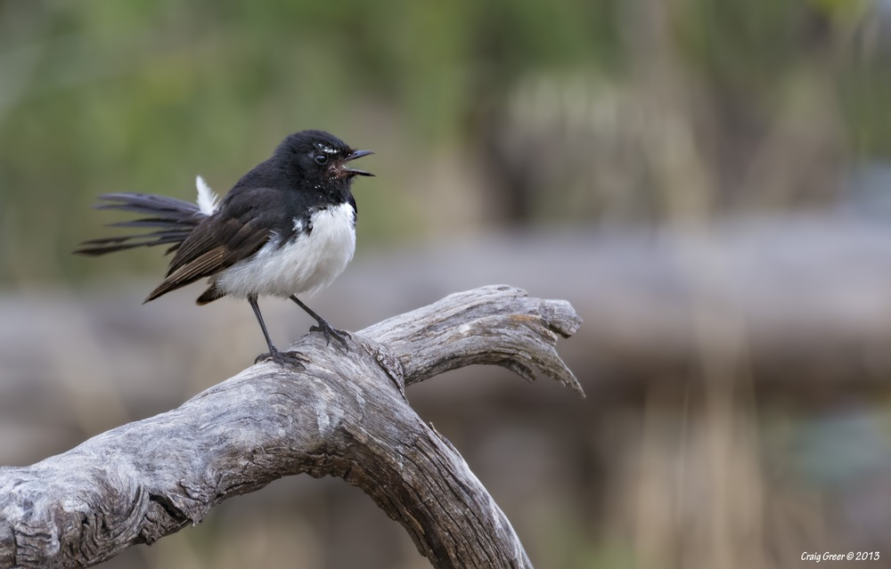 Willie Wagtail | Pengilly Scrub