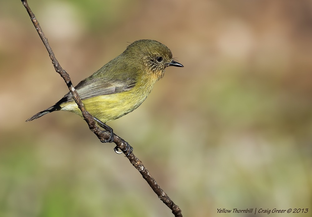 Yellow Thornbill | Brown's Rd