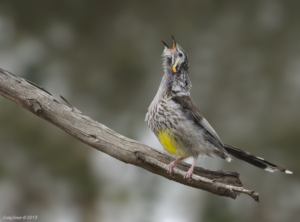 Yellow Wattlebird   Kate Reid Reserve, Tas