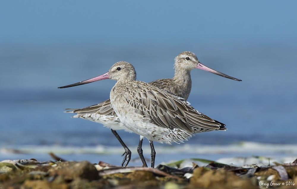 Bar-tailed Godwits | Bald Hill Beach