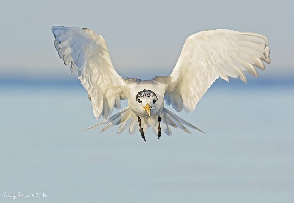 Crested Tern | Bald Hill Beach
