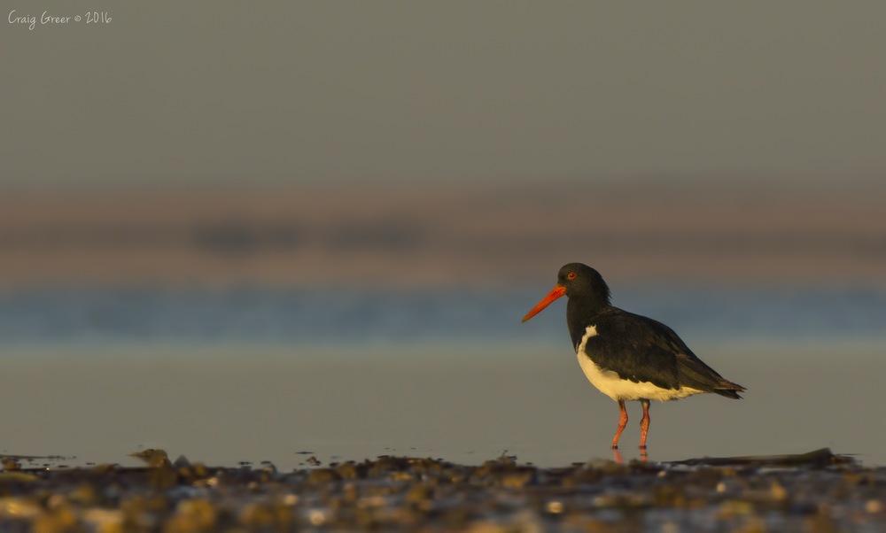 Pied Oystercatcher | Bald Hill Beach