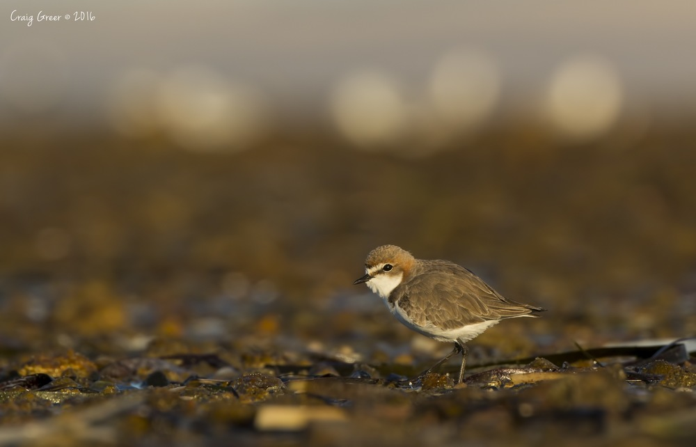 Red-capped Plover | Bald Hill Beach