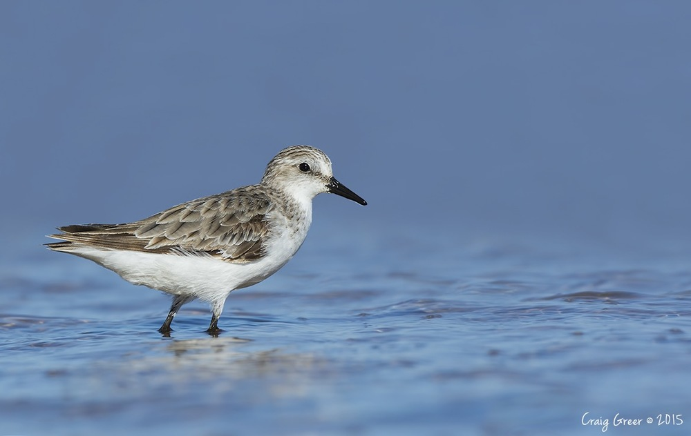 Red-necked Stint | Port Clinton