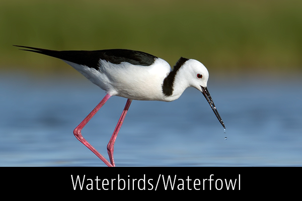 Waterbirds-Waterfowl-Album-Thumb.jpg