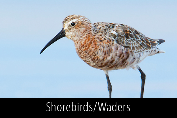 Shorebirds-Waders-Album-Thumb.jpg