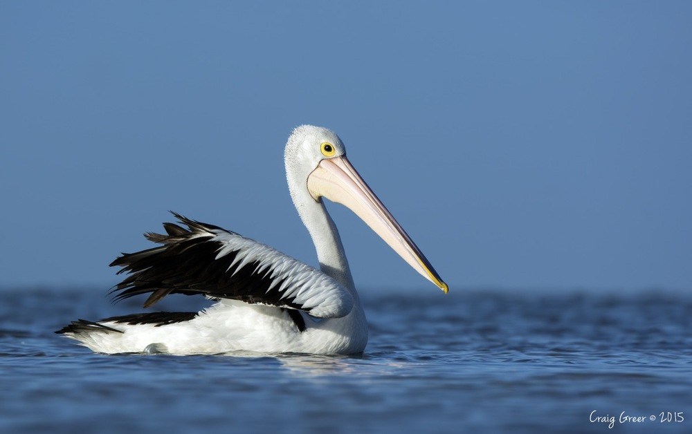 Australian Pelican | Bald Hill Beach