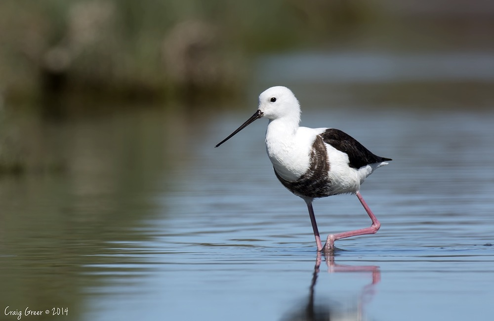 Banded Stilt | Dry Creek Saltfields, SA