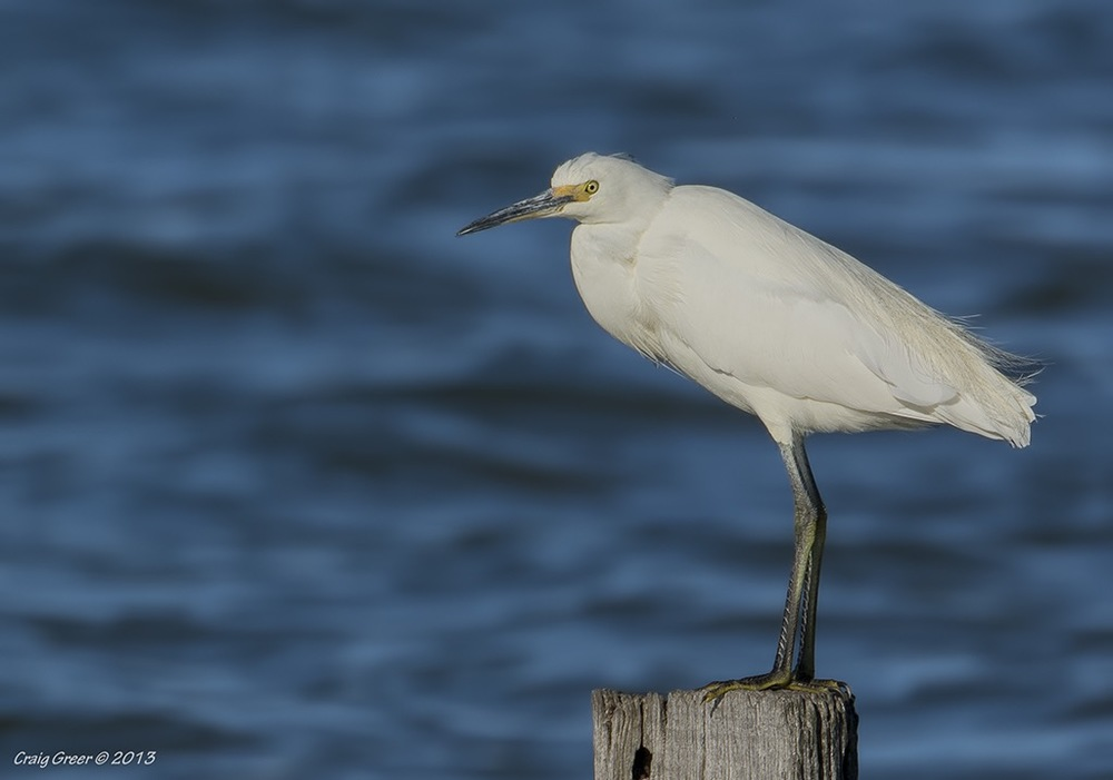Little Egret | Goolwa Barrage