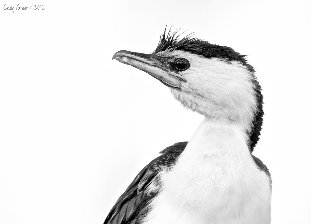Little Pied Cormorant | Oaklands Wetlands