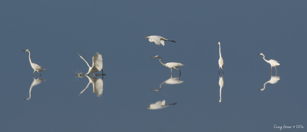 Eastern Great Egrets | Bald Hill Beach, SA