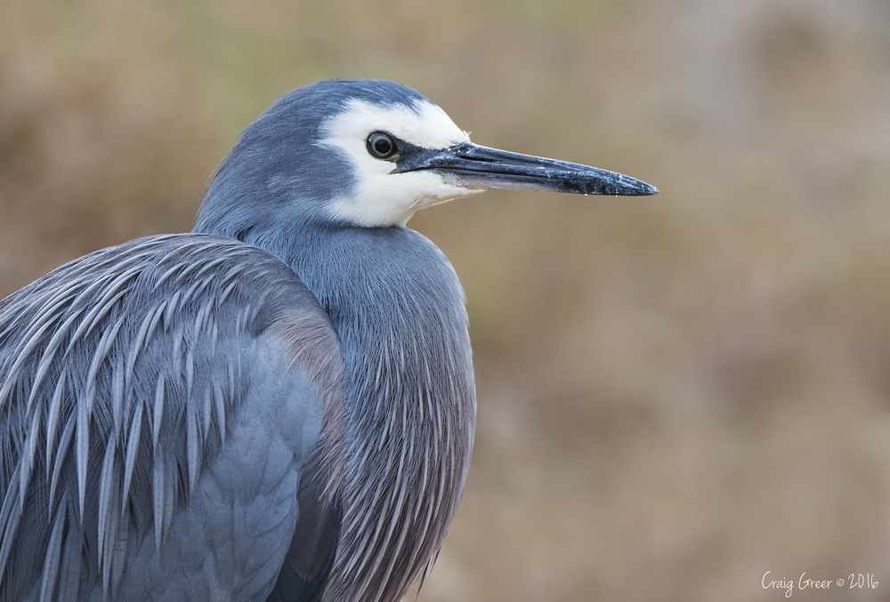 White-faced Heron | Oaklands Wetlands