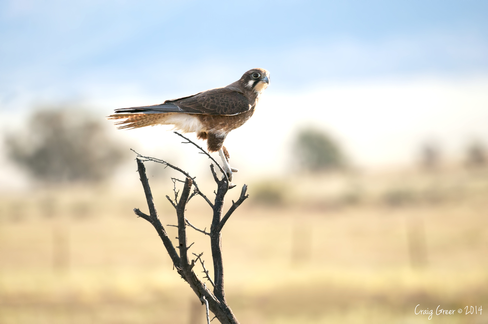Brown Falcon | Hawker