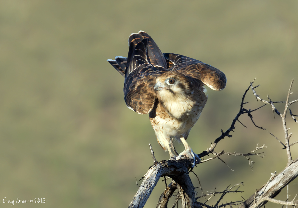 Brown Falcon | Wilpena Pound