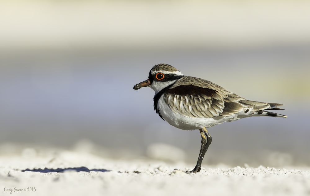 Black-fronted Dotterel | Laratinga Wetlands